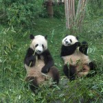 Panda buddies enjoying lunch together outside Chengdu